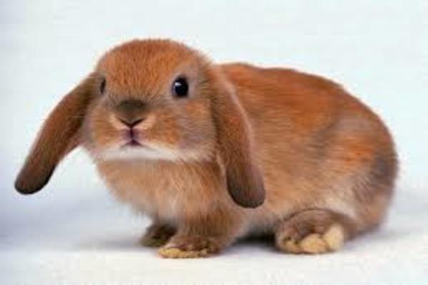 Поведение кролика