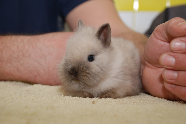 Карликовый крольчонок
