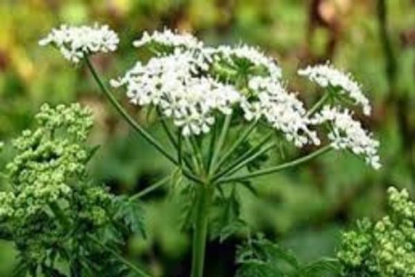 Болиголов - трава, которую кроликам нельзя