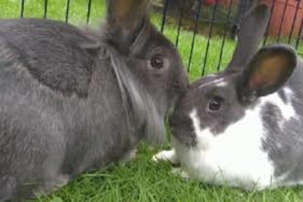 Крол и крольчиха