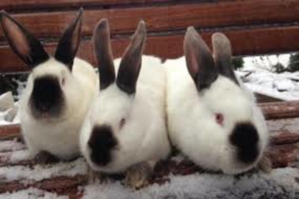 Разведение калифорнийских кроликов
