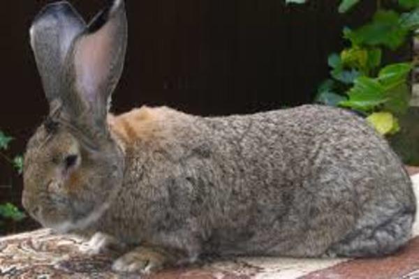 Кролик породы обер