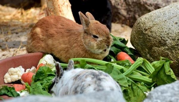 Выращивание кроликов в домашнем хозяйстве