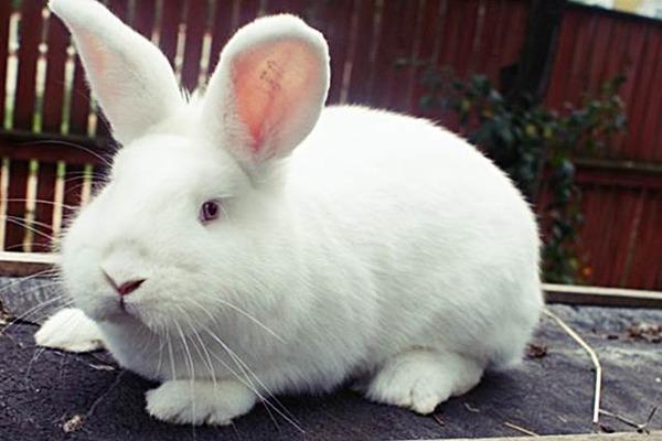 Популярность новозеландского кролика