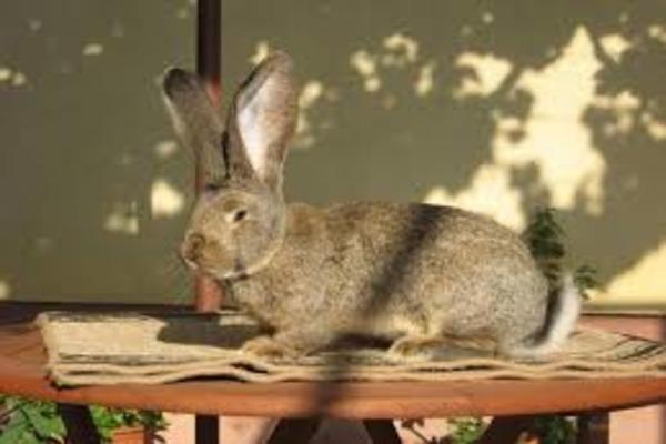 Определение беременной крольчихи
