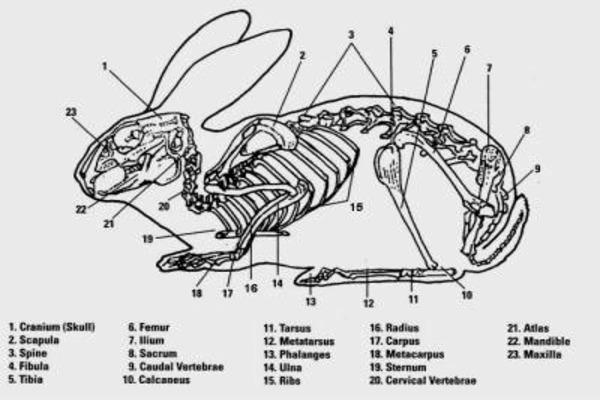 Анатомия кролика