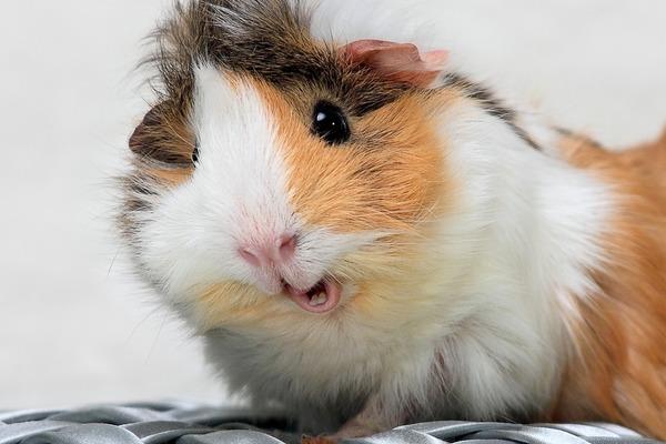 Неестественное выражение лица морской свинки