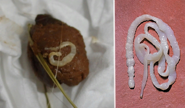 Паразиты, живущие в организме морской свинки