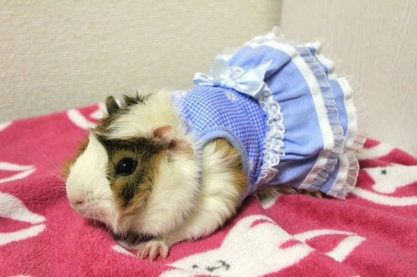 Одежда для морской свинки