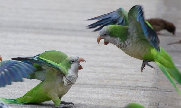 Драка попугаев