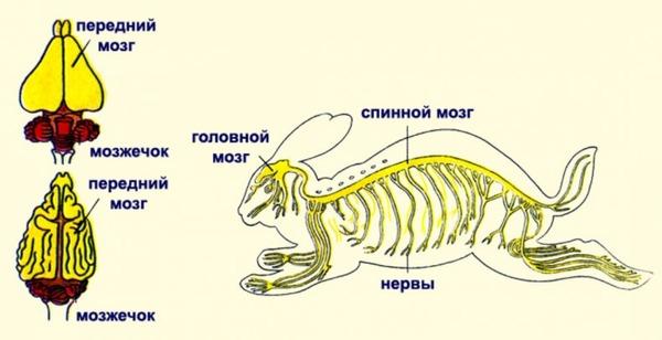 Системы органов у кролика