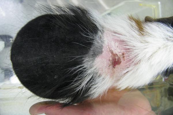 Выявление паразитов на спинке грызуна