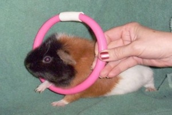 Морская свинка прыгает через кольцо
