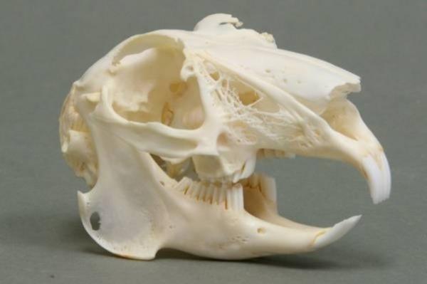 Зубы грызуна