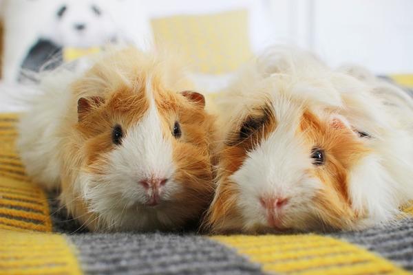 Мифы о размножении морских свинок
