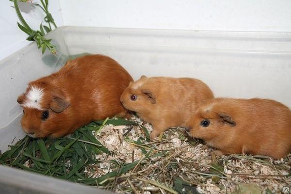 Семейство морских свинок