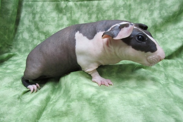 Лысая морская свинка