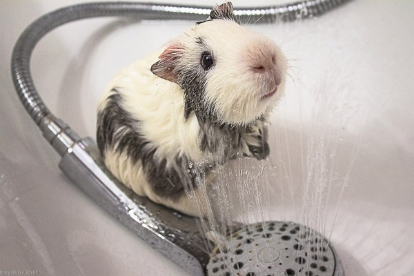 Морская свинка принимает душ