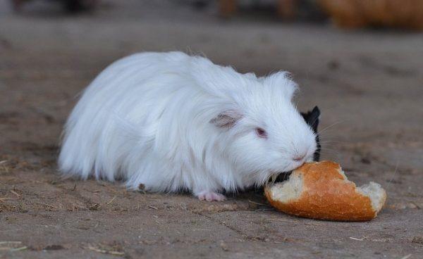Морская свинка пробует кушать хлеб