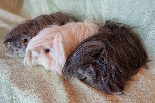 Содержание ангорских свинок