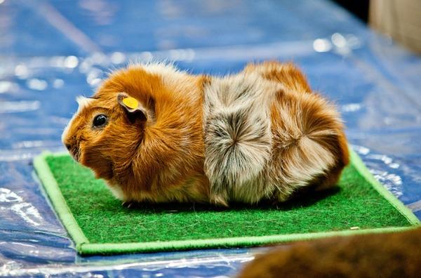 Продается абиссинская морская свинка