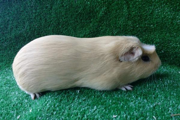 Крупная порода морских свинок куи