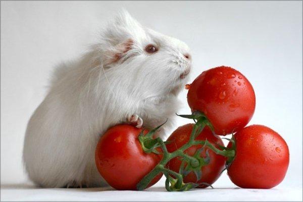 В рационе у грызунов - помидоры