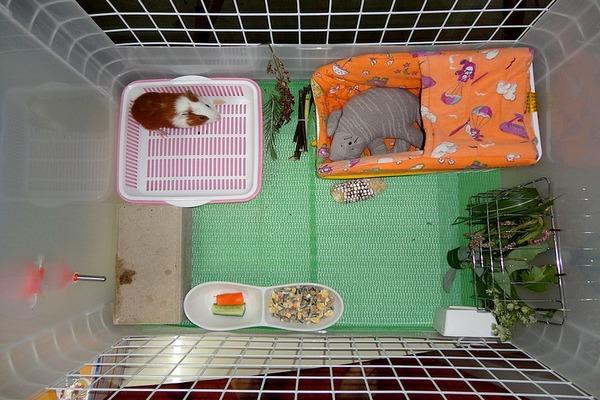 Туалет морской свинки
