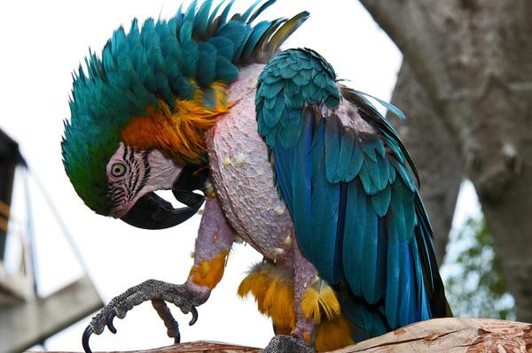 Самоощипывание перьев