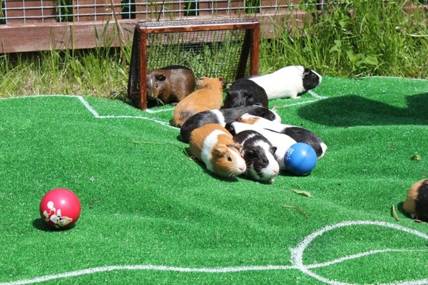 Морские свинки играют во дворе в вольере
