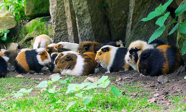 Среда обитания морских свинок