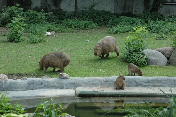 Морские свиньи гиганты