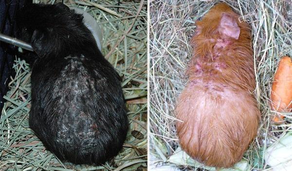 Наличие кожных паразитов способствует выпадению шерсти