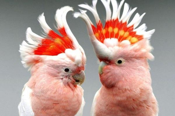 Невероятно красивые попугаи какаду
