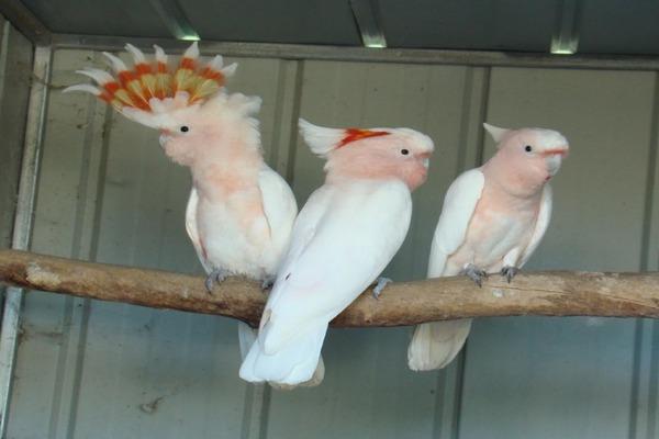 Покупаем попугаев в питомнике или в заводчика