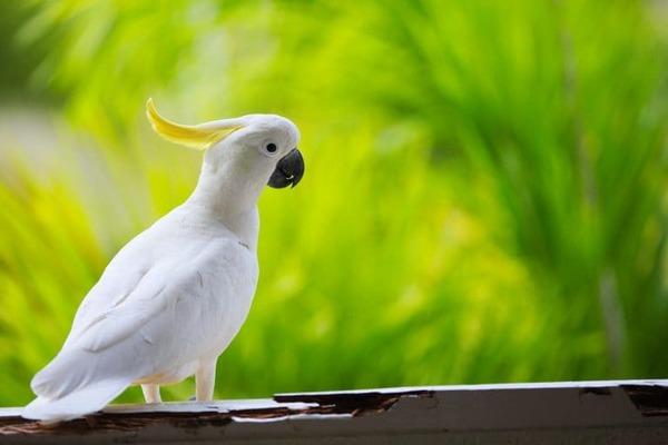Маленький белый попугай - самый дешевый