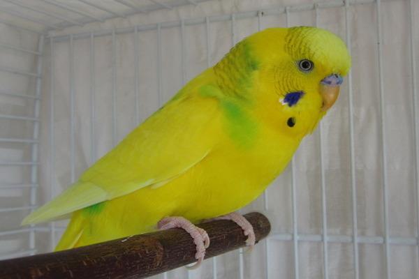 Желтый (лютино) волнистик