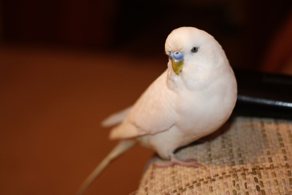 Белый (альбинос) попугай