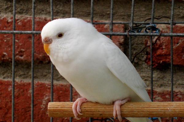 Попугай альбинос