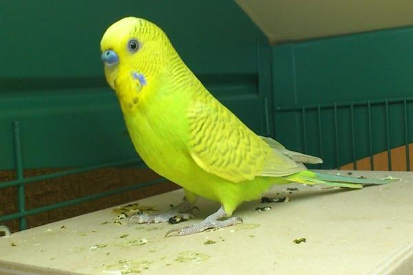 Желто-зеленый волнистик