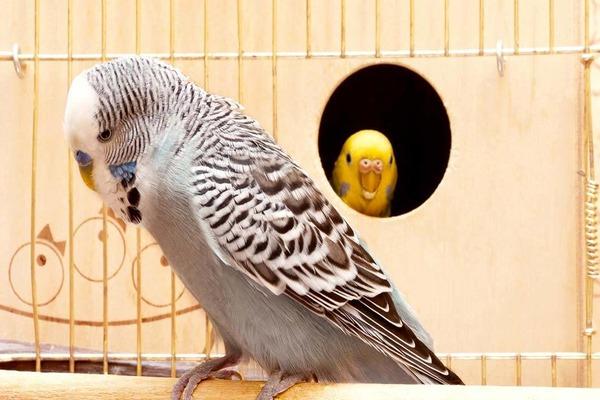 Коричневый попугайчик