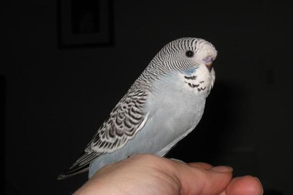 Серый попугайчик