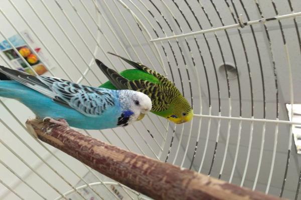 Домашние попугайчики