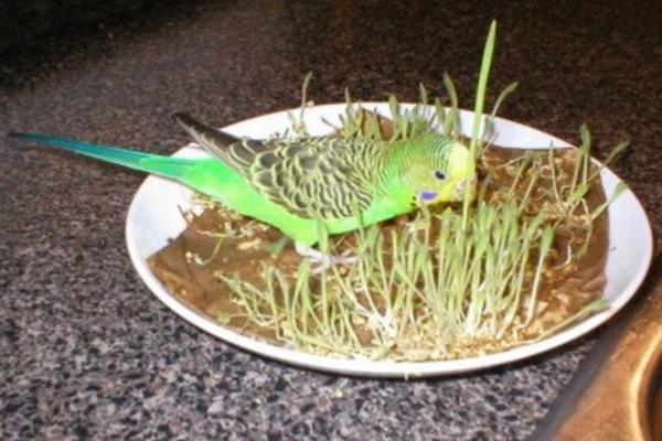 Проросшая трава для попугая