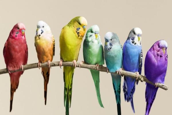 Выбираем волнистого попугая