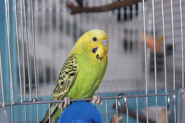 Жизнь попугая в домашних условиях