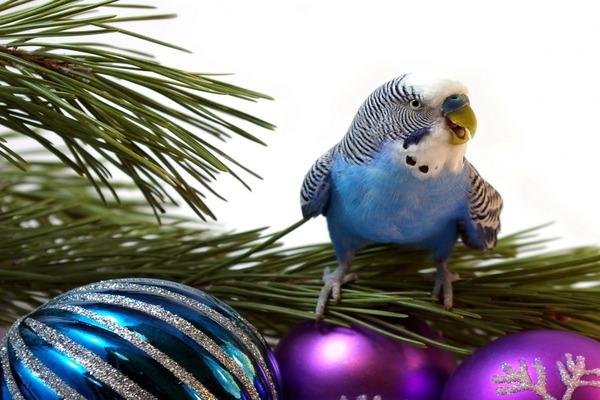 Хвойные ветки для попугая