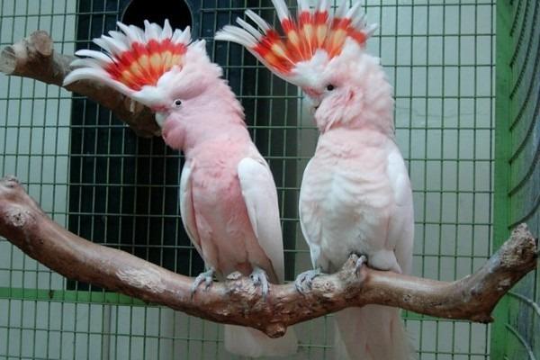 Покупаем попугаев у заводчиков