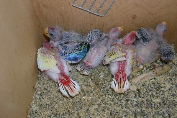 Разведение попугаев розелл
