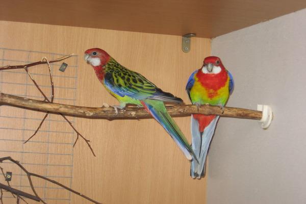 Содержание попугаев